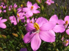 robberg-pinkflowers